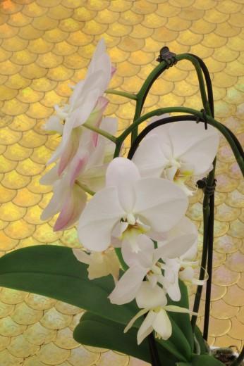Laric Orchid gold
