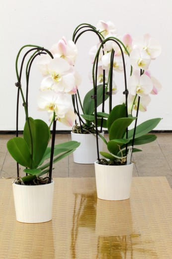 Laric Orchid group