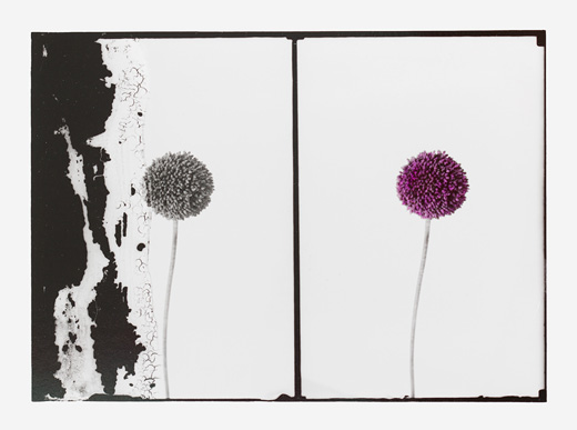 Uriel Orlow, Double Vision (Native Plants), Allium Ampeloprasum (Wild Garlic), Detail