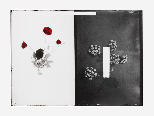Uriel Orlow, Double Vision (Native Plants), Papaver Rhaes (Syrian Poppy), Detail